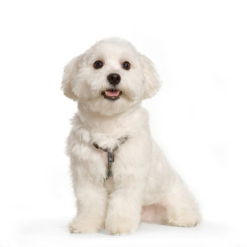 Small White Dogs Breeds